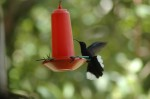violet sabrewing at feeder 2