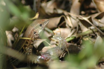 whiptail eating a gecko (with possible egg), Grecia