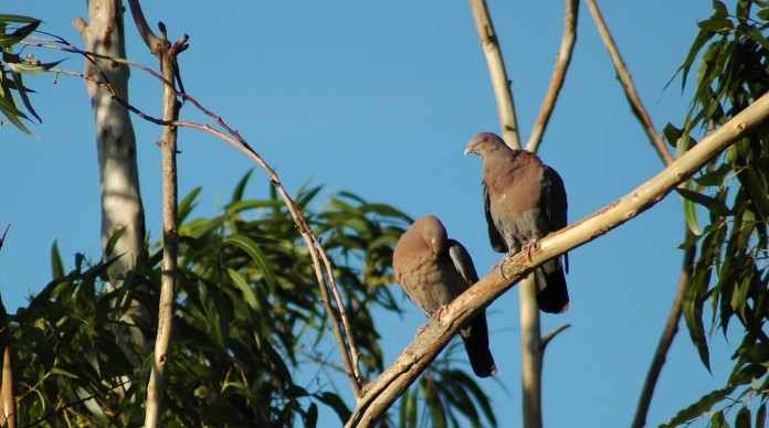 white-winged doves, Grecia
