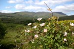 wild roses with mountains, Trafrask