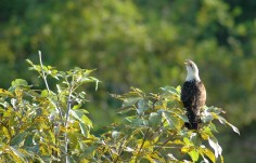 yellow-headed caracara calling, MA