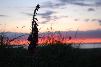 Foxglove with sunset, Trildoon House