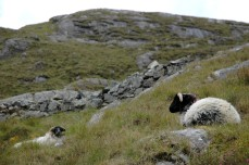 sheep and hills, Killary