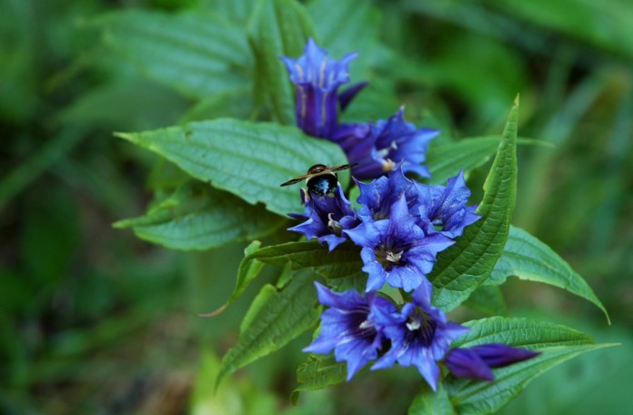 blue wildflowers and bumblebee