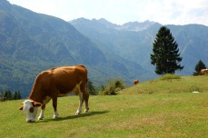 cow pasture, lake bohinj