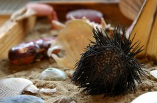 urchin on display