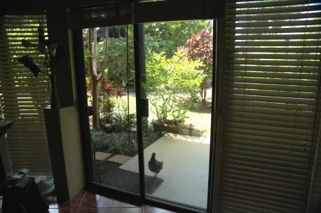 Begging chicken at Princeville condo