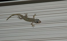 Gecko on the blinds, Princeville condo