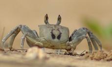 Ghost crab, Anini beach 2