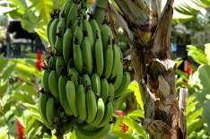 how bananas grow