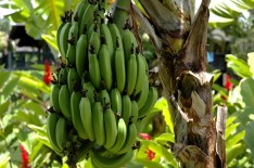 how bananas grow