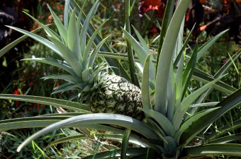 how pineapples grow (Princeville condo)