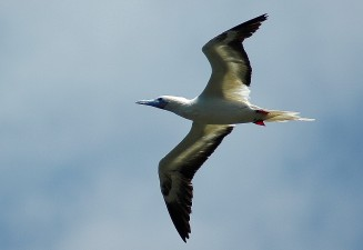 red-footed booby 2