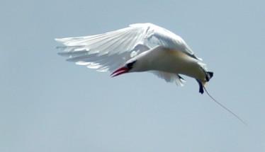 tropic bird study in flight