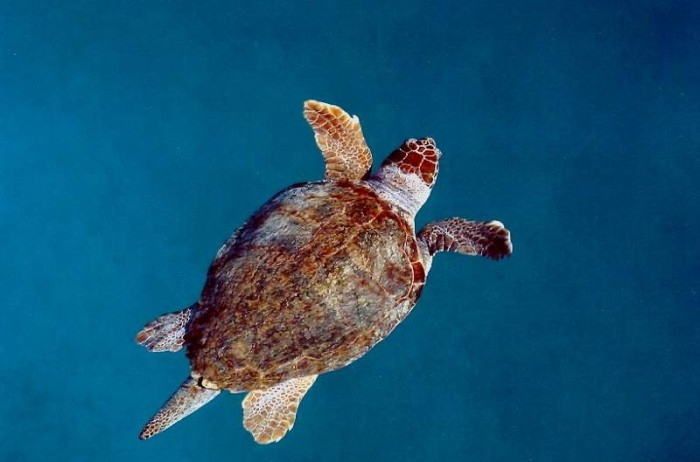 Sea turtle, Turkey