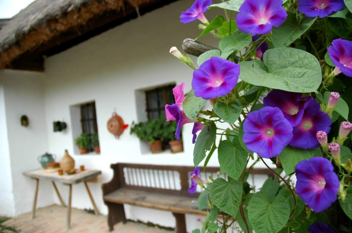 Morning glories at farmhouse, Hungary