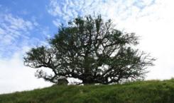 Tree at Hobbiton
