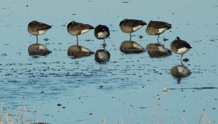 One-legged geese