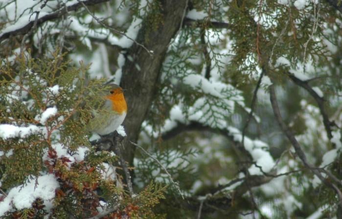 robin in snowy tree