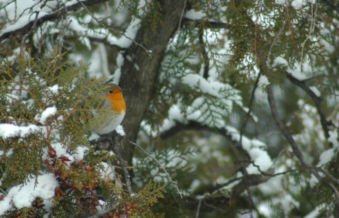 robin in snowy tree