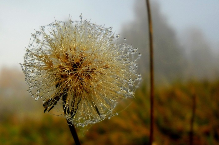Seed head with morning dew, Styria, Austria