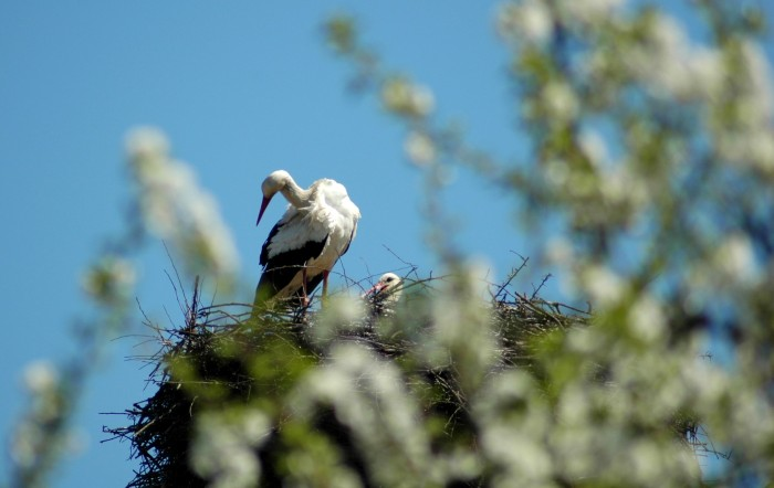 storks on nest with apple blossoms