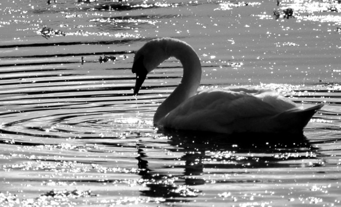 Swan, Trafrask, Ireland
