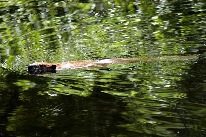 Swimming beaver, near Lake Sebago, Maine, USA