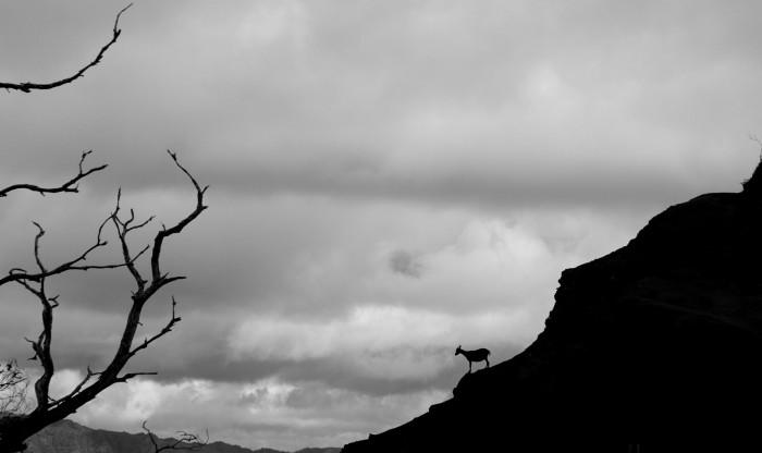 Wild goat, b+w