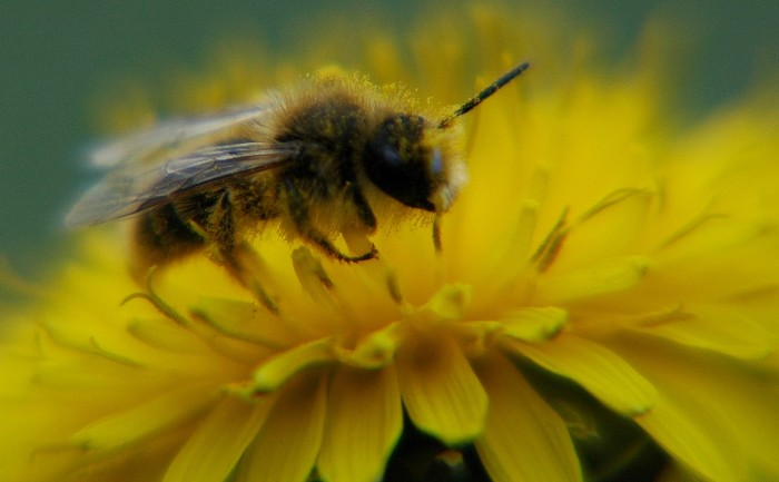 bee on dandelion4
