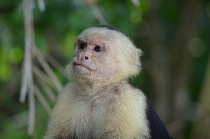 capuchin with canine exposed