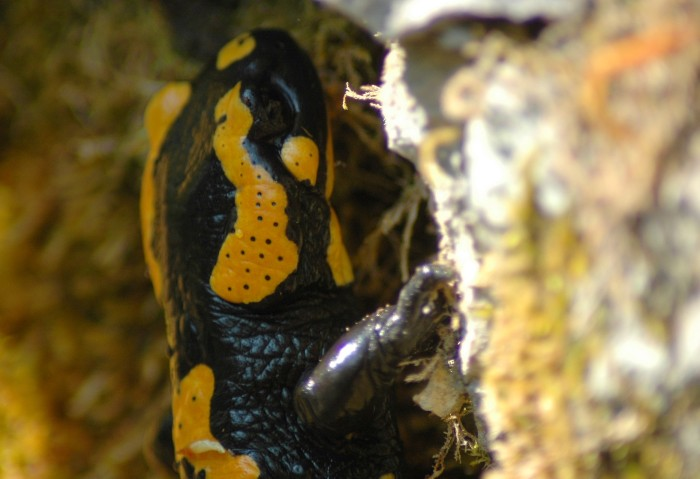fire salamander closeup