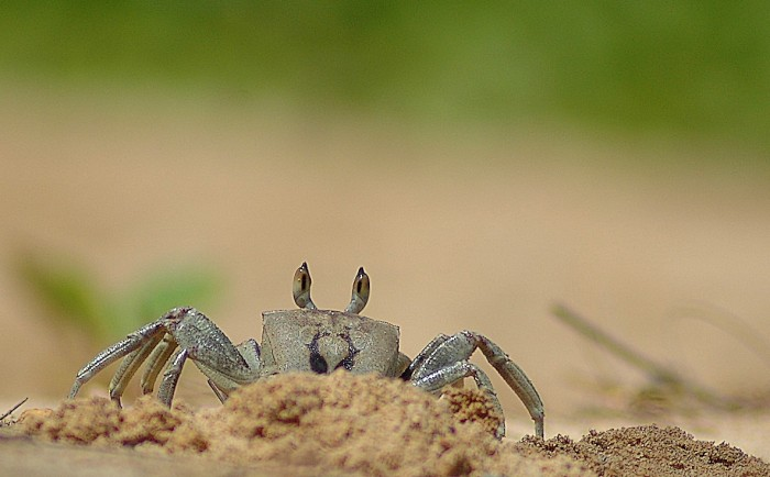Ghost crab, Anini beach 3