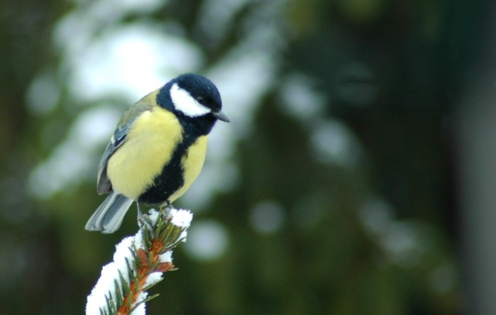 great tit on snowy branch