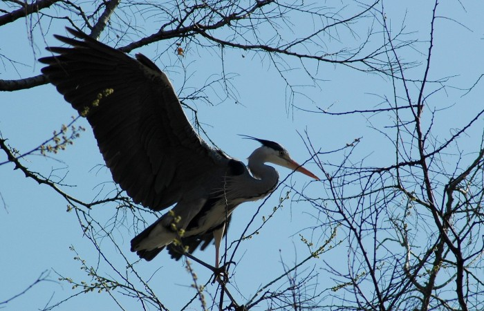 grey heron perched on small branch2