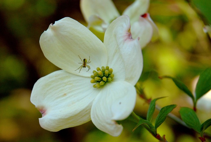 spider on dogwood blossom