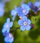 forget me nots2