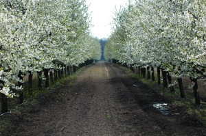 Sour cherry trees at Nemeth farm, Hungary