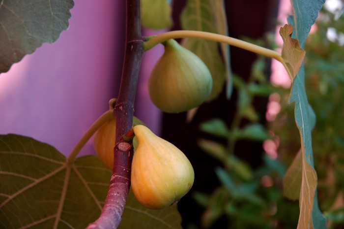 Ripe figs on the terrace