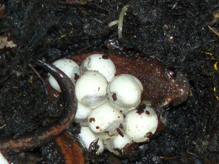 Finding a red-backed salamander guarding her eggs