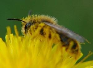 bee on dandelion with pollen fur