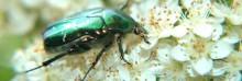 beetle on white flowers closeup