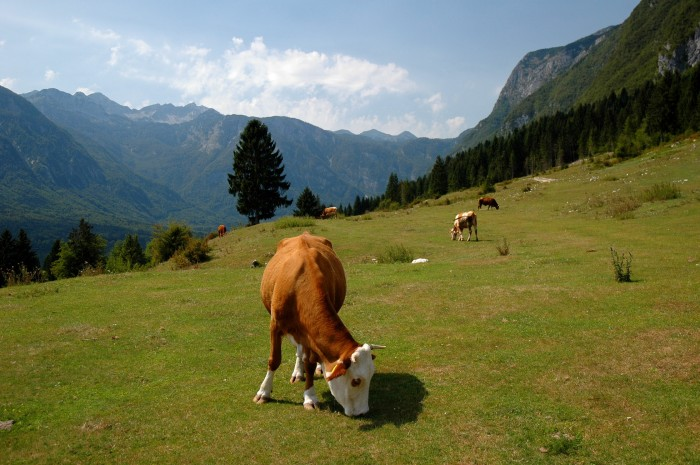 Cows in pasture above Lake Bohinj