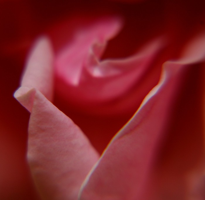 rose closeup2