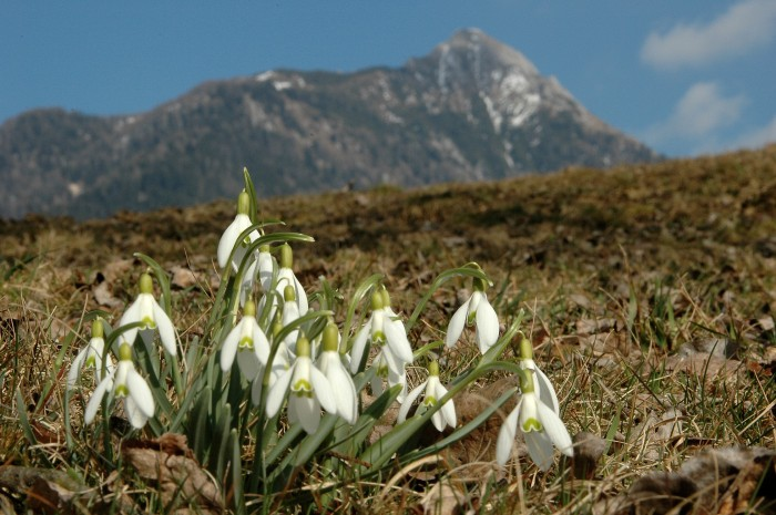 snowdrops and peak
