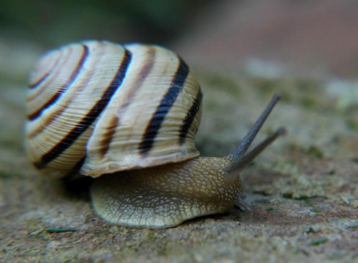 stripy snail 2