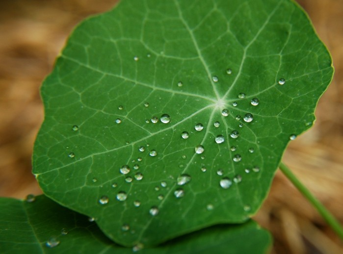 water droplets on nasturtium