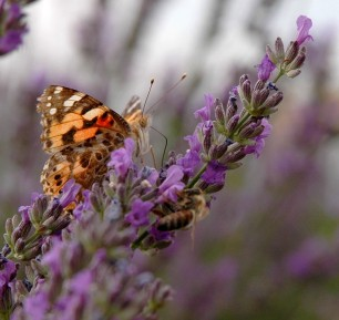 Butterflies and bees drank deeply of the lavender nectar
