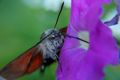 This hawkmoth was actually stuck in this petunia