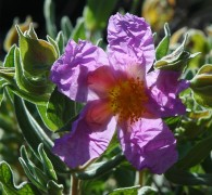 cistus on trail